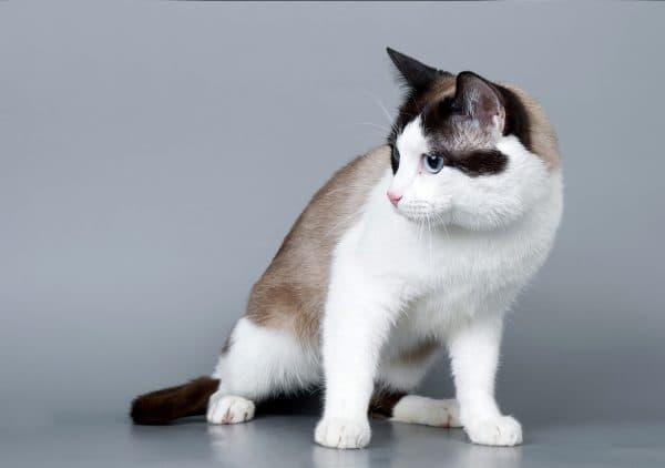 Сноу-шу милая порода кошек