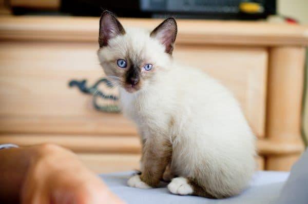 Сноу-шу прекрасная порода кошек