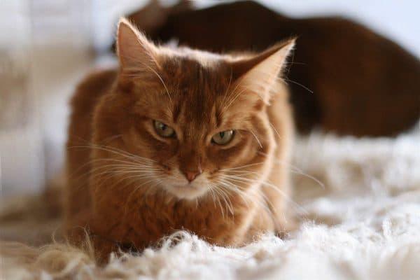 Сомалийская кошка красивая порода
