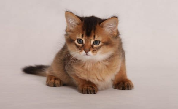 Сомалийская кошка красивое фото