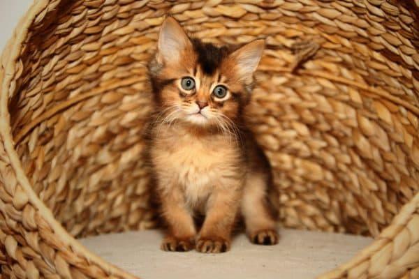 Сомалийская кошка питание