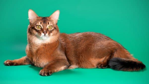 Сомалийская кошка с жёлтыми глазами