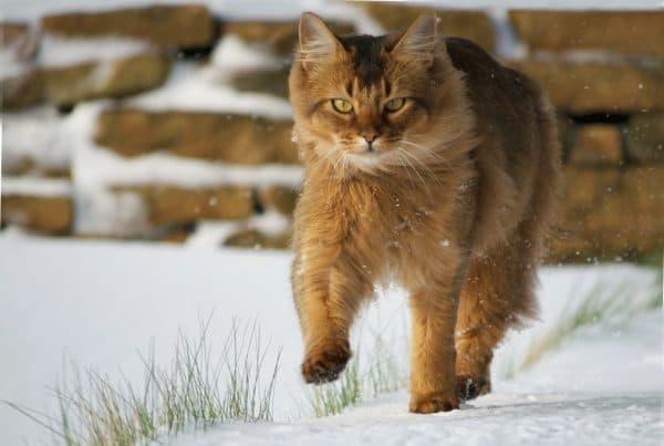 Сомалийская кошка удивительная порода
