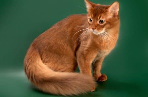 Сомалийская кошка. Описание породы, фото, видео, характер и цены.