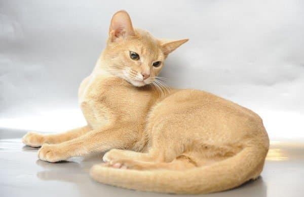 Тонкинская кошка бежевая