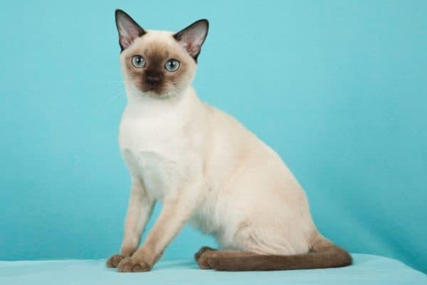 Тонкинская кошка красивая порода