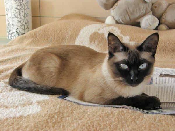 Тонкинская кошка лежит