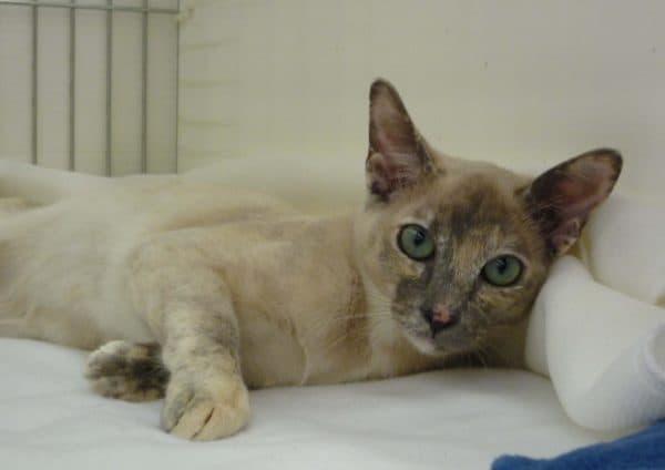 Тонкинская кошка милая порода