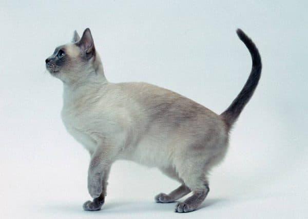 Тонкинская кошка описание