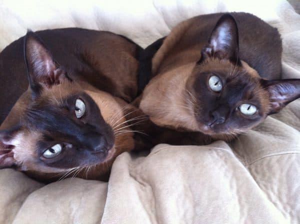 Тонкинская кошка парочка