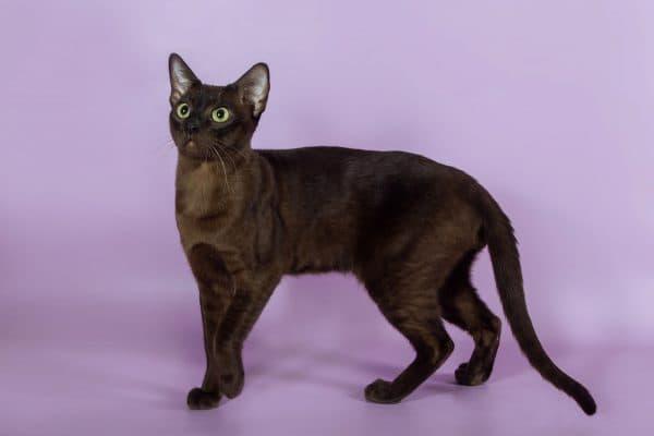 Тонкинская кошка питание