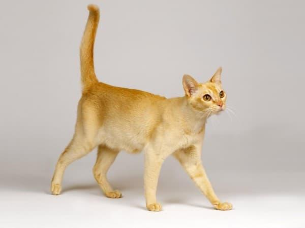 Тонкинская кошка рыжая
