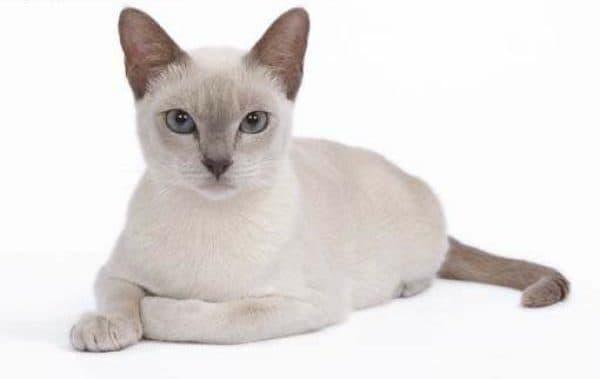 Тонкинская кошка сиреневого окраса