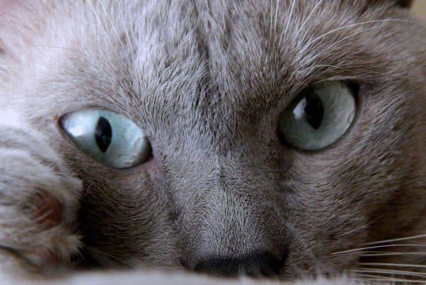 Тонкинская кошка светло-синего окраса