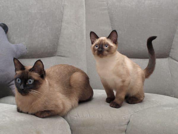 Тонкинская кошка удивительная порода