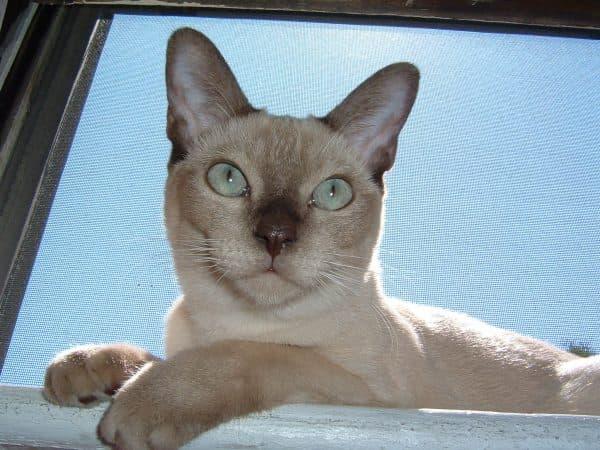 Тонкинская кошка. Видео, фото, характер, описание породы и цены.