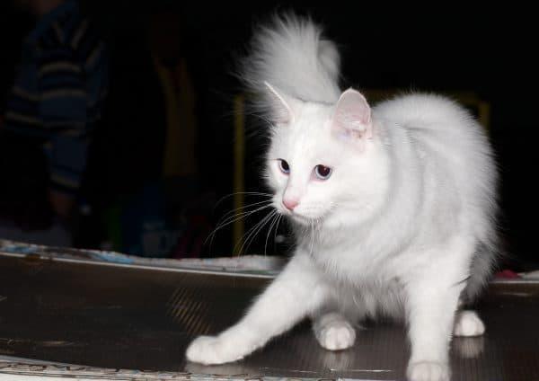 Турецкая ангора. Описание породы, фото кошки, видео, характер и цены.