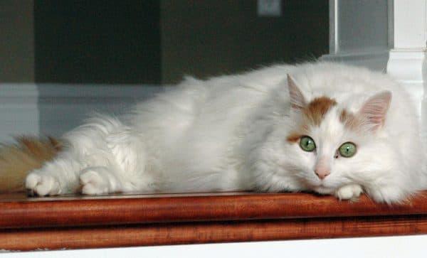 Турецкий ван милая порода кошек
