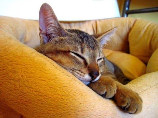 Удивительная порода кошек чаузи