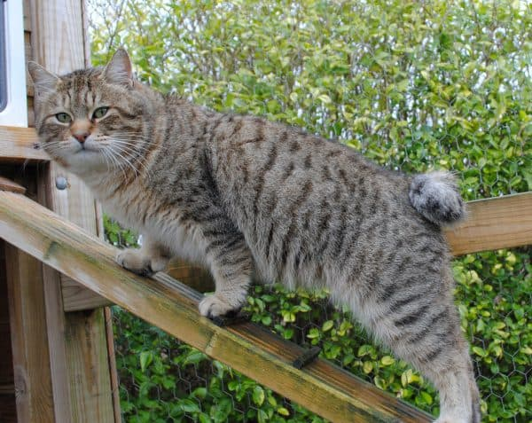 Взрослый кот пиксибоб