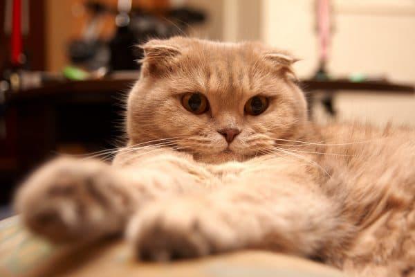 Особенности рациона кастрированных шотландских котов