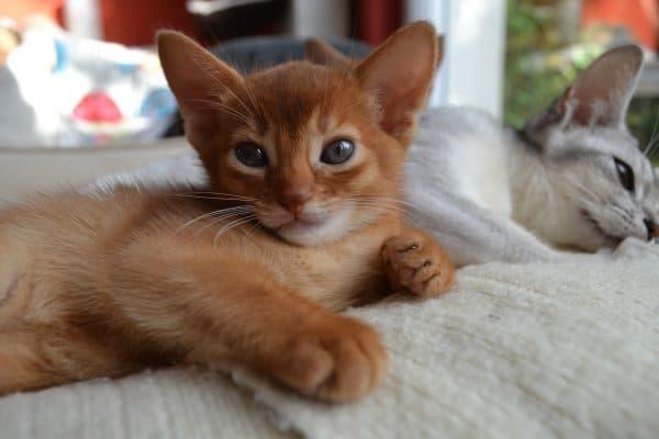 Абиссинский милый котенок