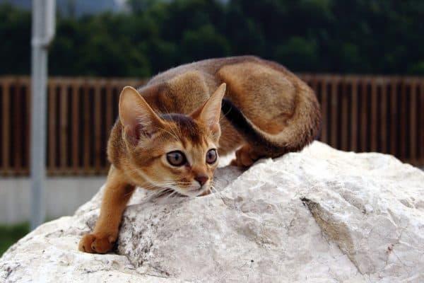 Абиссинский прекрасный котенок