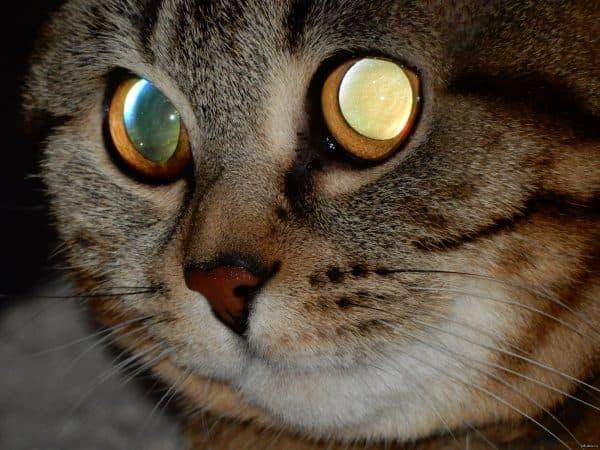Болезни глаз у кошек читайте статью