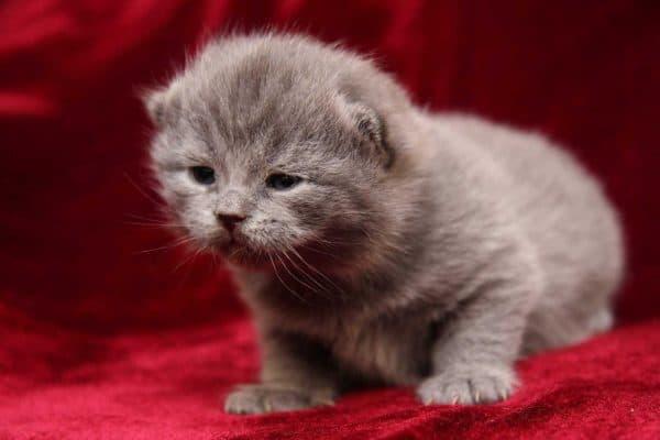 Британский милый котенок