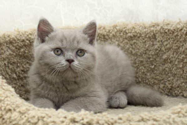 Британский удивительный котенок