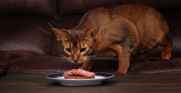 Чем кормить абиссинскую кошечку