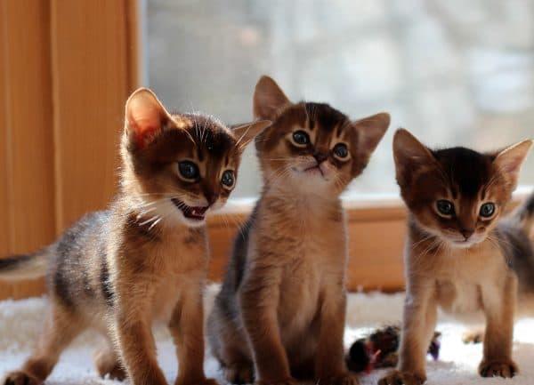 Чем кормить абиссинскую кошку. Питание котят