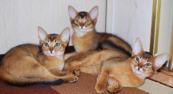 Чем кормить абиссинскую породу кошек