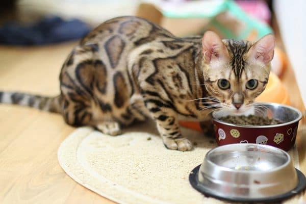 Чем кормить бенгальскую кошку читайте статью