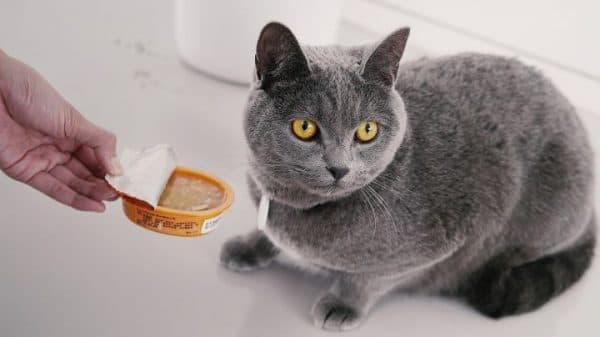Чем кормить британскую кошку читайте статью