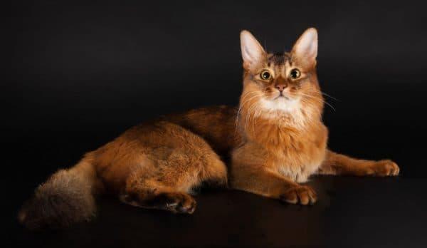 Чем кормить экзотическую кошку читайте статью