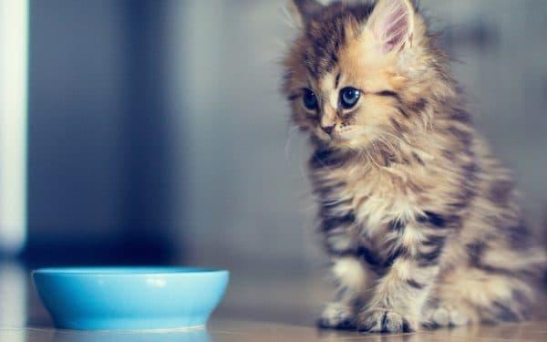 Чем кормить котенка. Полное руководство читайте статью