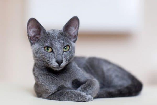 Чем кормить русскую голубую кошку
