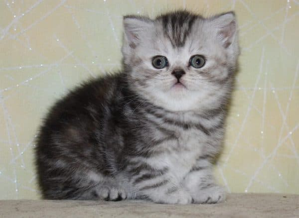 Чем кормить шотландского котенка по месяцам читайте статью