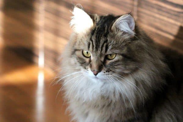 Чем кормить сибирскую кошку