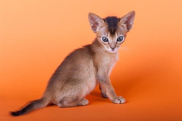 Как назвать абиссинского котенка читайте статью