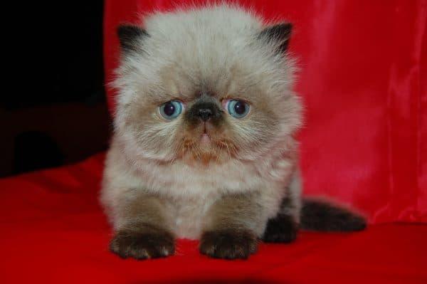 Как назвать персидского котенка читайте статью