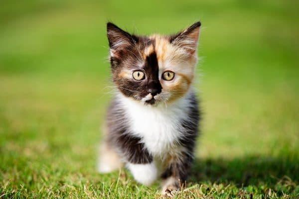 Как назвать трехцветную кошку читайте статью
