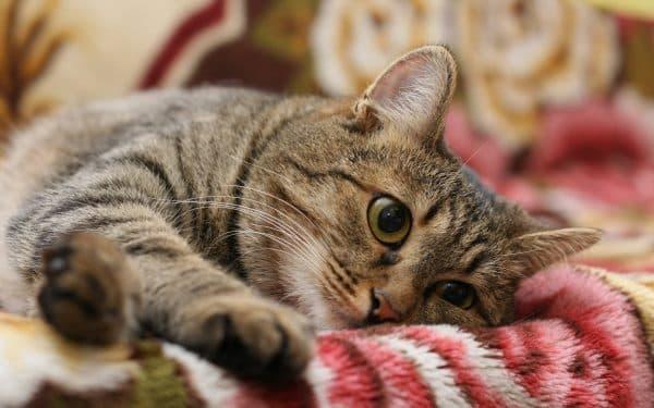 Камни в почках у кошки