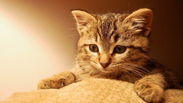 Камни в почках у кота. Медикаментозное лечение нефролитиаза