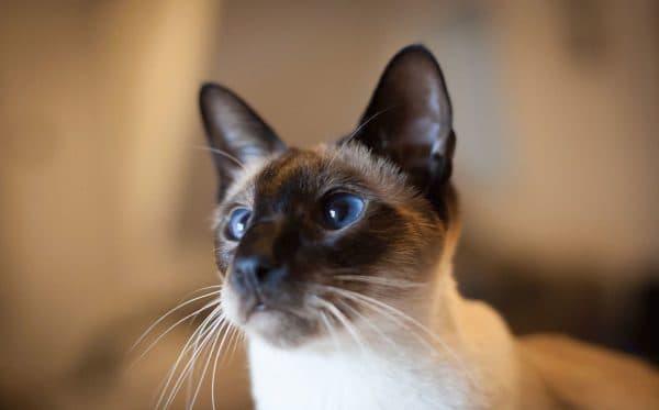 Кормление сиамской кошечки. Какие продукты дают взрослой кошке