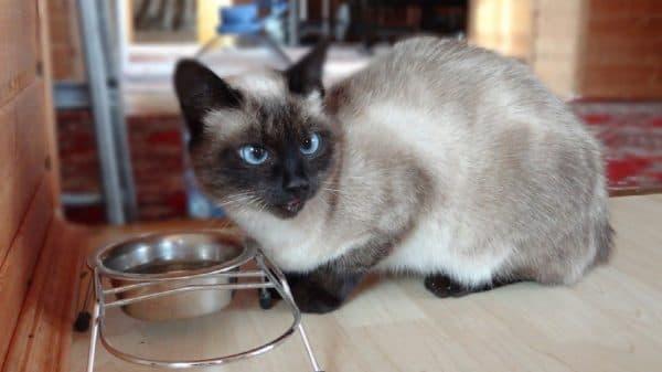 Кормление сиамской кошечки. Режим питания