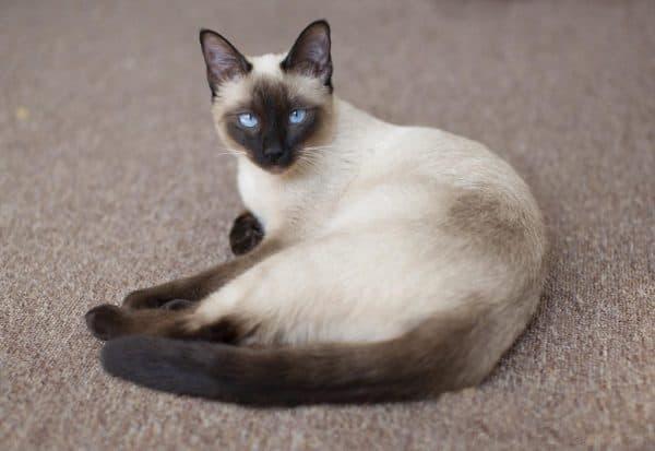 Кормление тайской кошки. Расчет дневной порции