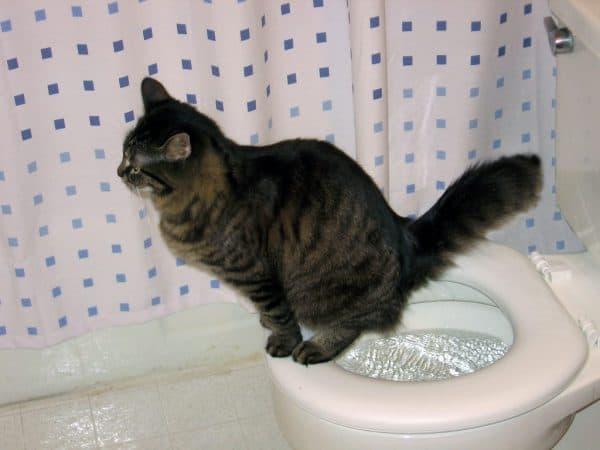 Кот приучен к унитазу