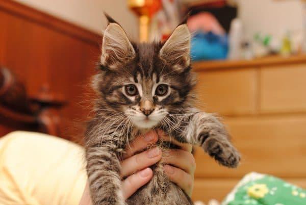 Мейн кун милый котенок